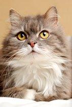 domestic longhair cats