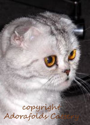 tabby scottish fold