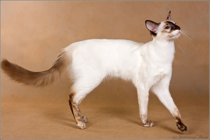 Long Haired Cat Breeds Bicolour