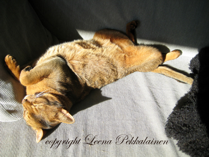 abyssinian cat in sunspot