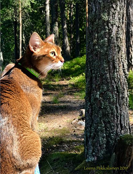 Abyssinian cat enjoying summer