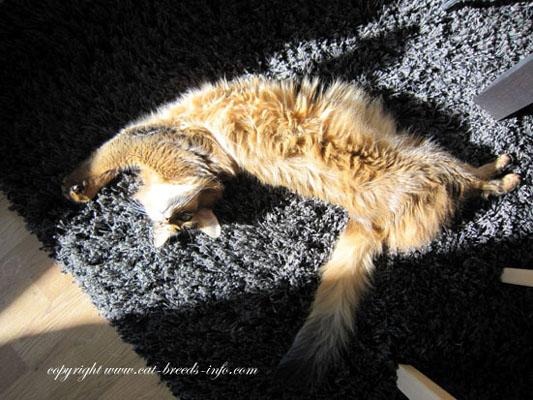 rolli the somali cat