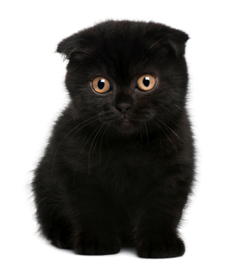 scottish fold kitten black