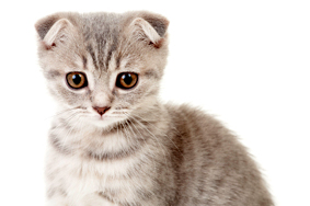 Scottish Fold cat kitten