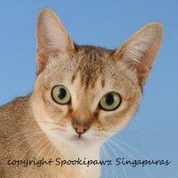 singapura cats