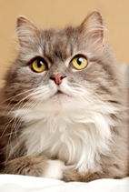 domestic longhair cat