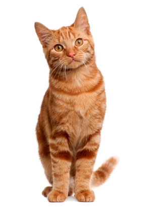 Red domestic shorthair cat