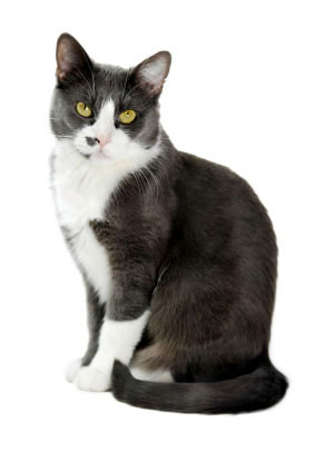 house cats - grey tuxedo cat
