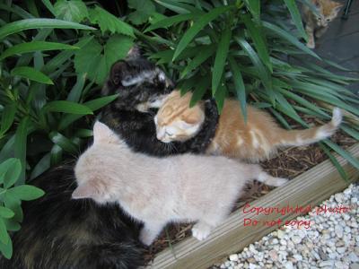 Lavender pinkish kitty