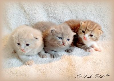 Cream, Blue and Chocolate Color Kittens