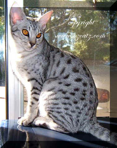 History of Ocicat cats