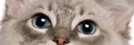 Blue eyes of a Ragdoll cat