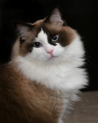 ragdoll sealpoint cat