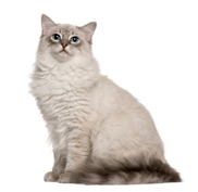 Ragdoll cat - a cat breed that loves people