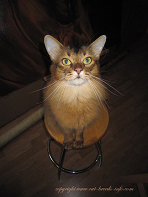 cat diary somali cat
