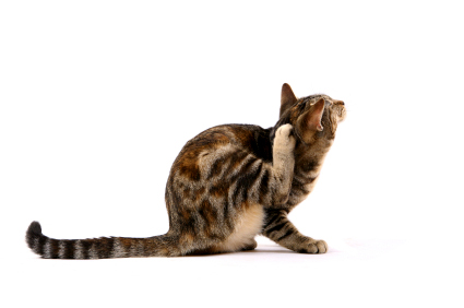 fleas on cats