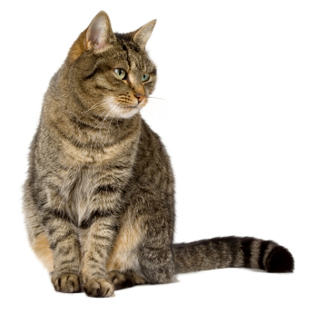 house cats - tabby cat
