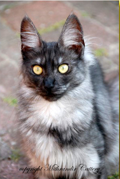 turkish angora cat black smoke