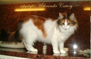 Cat Colors - Turkish Angora Cats