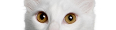 Amber eyes of a cat