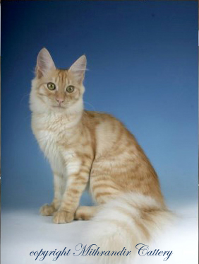 red smoke Turkish Angora