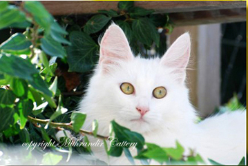 amber eyed turkish angora cat