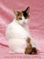 japanese bobtail cat breeders