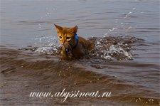 abyssinian cat in water