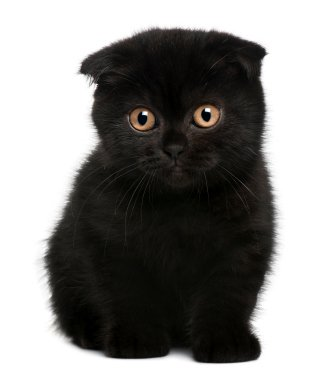 scottish fold kitten black