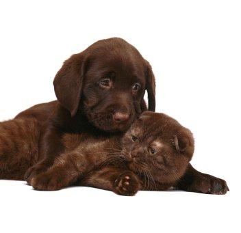 scottish fold cat and dog