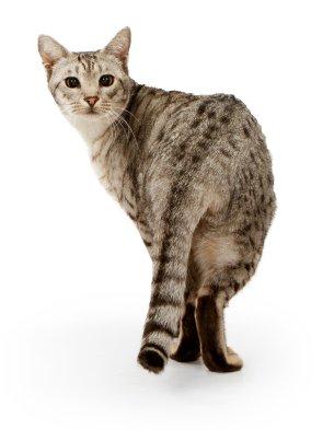 feline dermatitis