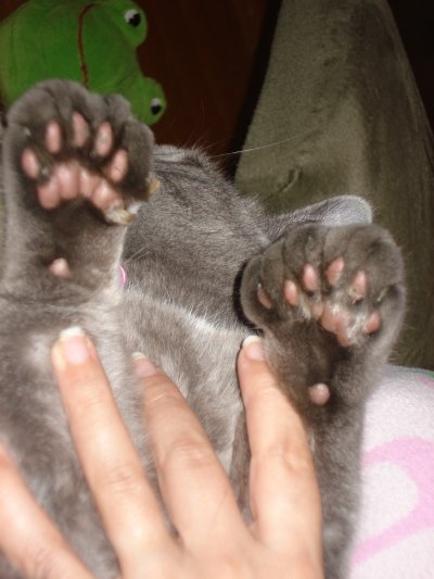 polydactyl cats rescue