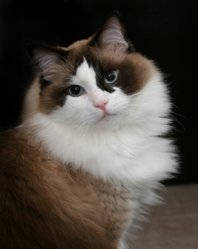 ragdoll sealpoint cat