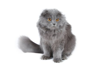 Scottish Fold Cat longhair