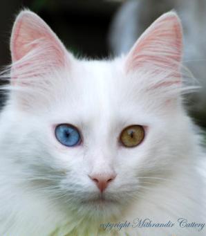 turkish angora white odd eyed